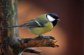 Velika_sinica_Great_tit_12.jpg