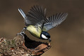 Velika_sinica_Great_tit_13.jpg