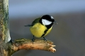 Velika_sinica_Great_tit_Parus_major_Sinice_Paridae_15.jpg