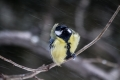 Velika_sinica_Great_tit_Parus_major_Sinice_Paridae_18.jpg