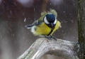 Velika_sinica_Great_tit_Parus_major_Sinice_Paridae_19.jpg