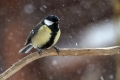 Velika_sinica_Great_tit_Parus_major_Sinice_Paridae_20.jpg