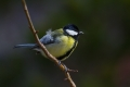 Velika_sinica_Great_tit_Parus_major_Sinice_Paridae_21.jpg