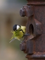Velika_sinica_Great_tit_Parus_major_Sinice_Paridae_22.jpg