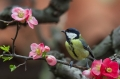 Velika_sinica_Great_tit_Parus_major_Sinice_Paridae_23.jpg