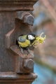 Velika_sinica_Great_tit_Parus_major_Sinice_Paridae_25.jpg