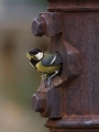 Velika_sinica_Great_tit_Parus_major_Sinice_Paridae_27.jpg