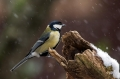 Velika_sinica_Great_tit_Parus_major_Sinice_Paridae_33.jpg