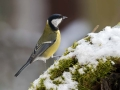 Velika_sinica_Great_tit_Parus_major_Sinice_Paridae_39.jpg