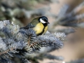 Velika_sinica_Great_tit_Parus_major_Sinice_Paridae_40.jpg