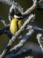 Velika_sinica_Great_tit_Parus_major_Sinice_Paridae_41.jpg