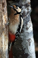 Veliki_detel_Great_spotted_woodpecker_08.jpg