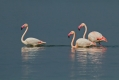 Veliki_plamenec_Greater_flamingo_09.jpg