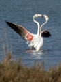Veliki_plamenec_Greater_flamingo_11.jpg