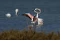 Veliki_plamenec_Greater_flamingo_12.jpg