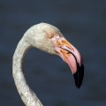 Veliki_plamenec_Greater_flamingo_14.jpg