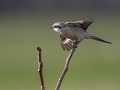 Veliki_srakoper_Great_grey_shrike_12.jpg
