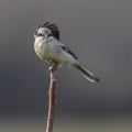 Veliki_srakoper_Great_grey_shrike_13.jpg