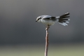 Veliki_srakoper_Great_grey_shrike_17_-_kopija.jpg