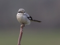 Veliki_srakoper_Great_grey_shrike_20.jpg