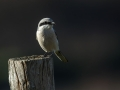 Veliki_srakoper_Great_grey_shrike_21.jpg