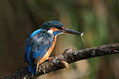 Vodomec_Kingfisher_17.jpg