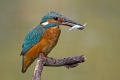 Vodomec_Kingfisher_38.jpg