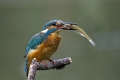 Vodomec_Kingfisher_39.jpg