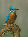 Vodomec_Kingfisher_55.jpg