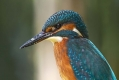 Vodomec_Kingfisher_64.jpg