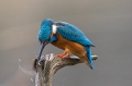 Vodomec_Kingfisher_66.jpg