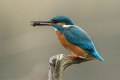 Vodomec_Kingfisher_68.jpg