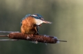 Vodomec_Kingfisher_76.jpg
