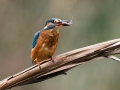 Vodomec_Kingfisher_77.jpg