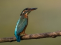Vodomec_Kingfisher_78.jpg