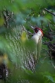 Zelena_zolna_Green_woodpecker_06.jpg