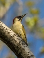 Zelena_zolna_Green_woodpecker_08.jpg