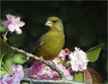 Zelenec_Greenfinch_19.jpg