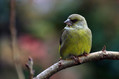 Zelenec_Greenfinch_20.jpg