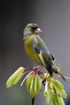 Zelenec_Greenfinch_22.jpg