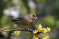 Zelenec_Greenfinch_23.jpg