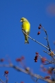 Zelenec_Greenfinch_24.jpg