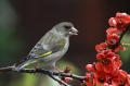 Zelenec_Greenfinch_25.jpg