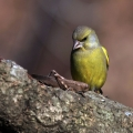 Zelenec_Greenfinch_26.jpg
