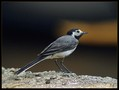 Bela_pastirica_Pied_wagtail_04.jpg