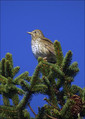 Cikovt_Song_thrush_01.jpg