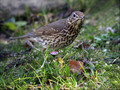 Cikovt_Song_thrush_02.jpg