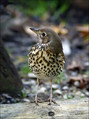 Cikovt_Song_thrush_03.jpg