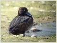 Copasta_crnica_Tufted_duck_01.jpg