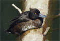 Copasta_crnica_Tufted_duck_02.jpg